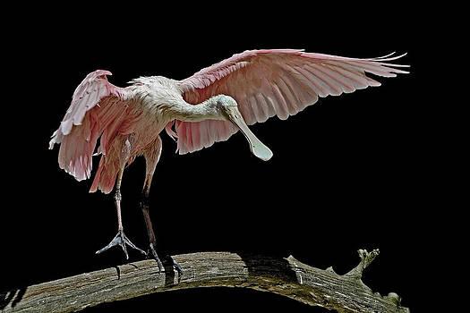 Roseate Spoonbill by Stuart Harrison