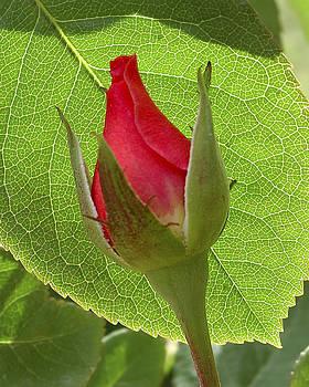 Brian King - Rosebud On Leaf