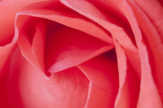 Roses are pink by Jay Krishnan