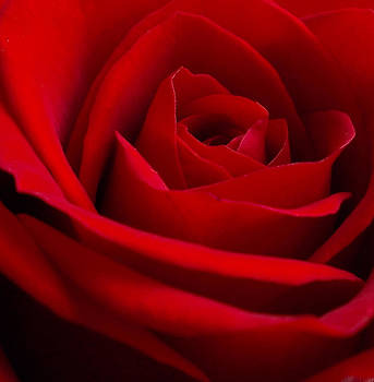 Roses are Red... by Kathy Williams-Walkup
