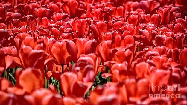 Tulips At The Plaza Hotel by Mark Thomas