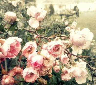 Roses by Ioanna Papanikolaou