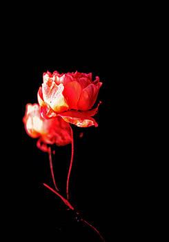 Roses by Nadeesha Jayamanne