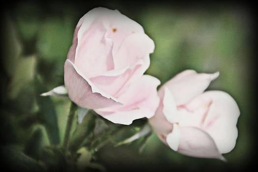 Roses by Stephanie Leidolph