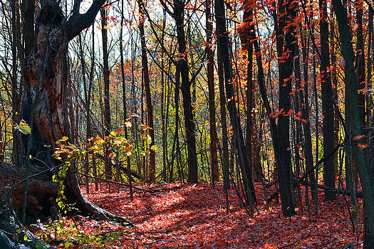 Rouge Forest by Kurt Bonnell