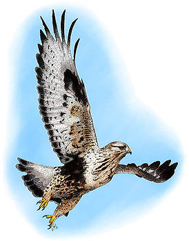 Rough-legged Hawk by Roger Hall
