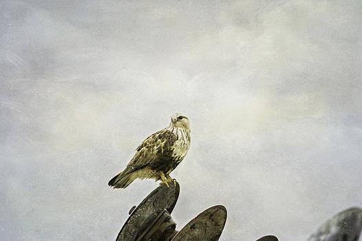 Rough-legged Hawk by Thomas Chamberlin