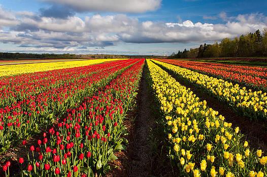 Matt Dobson - Rows of Tulips