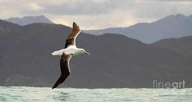 Royal Albatross Flying Among Mountains by Max Allen