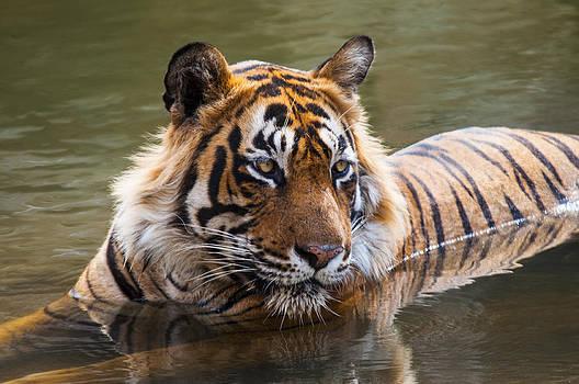 Manjot Singh Sachdeva - Royal Bengal Tiger