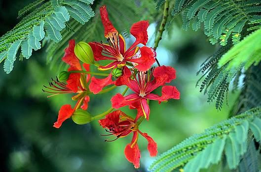 Royal Poinciana Flower by Diana Berkofsky