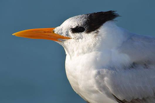 Royal Tern by Amber Bobbitt
