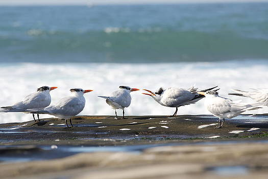 Jane Girardot - Royal Terns