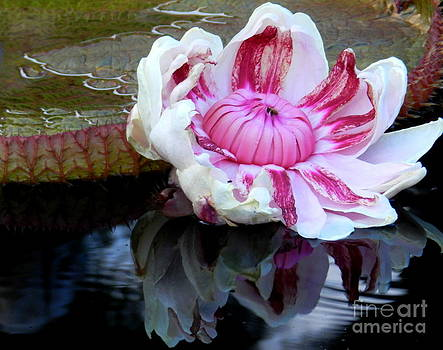Royal Waterlily by Anne Gordon