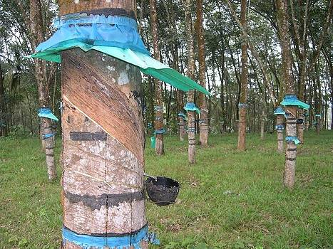 Rubber tapping by Joe Zachariah