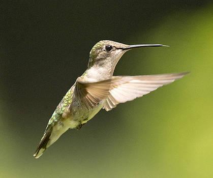 Gene Zonis - Ruby Hummingbird