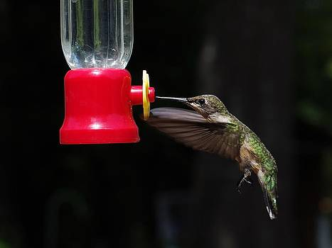 Ruby Throated Hummingbird Feeding by Billy  Griffis Jr