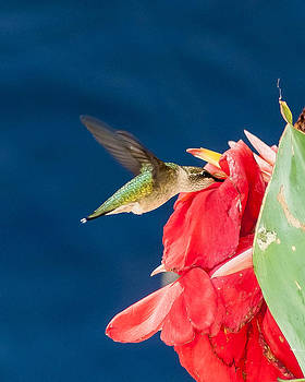 Charles Moore - Ruby Throated Hummingbird finds nectar