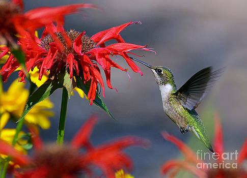 Ruby Throated Hummingbird in a Flower Garden by Rodney Campbell