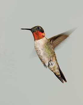 Lara Ellis - Ruby-throated Hummingbird in Flight