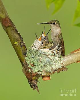 Joshua Clark - Ruby-throated Hummingbird
