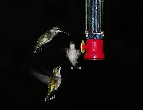 Ruby Throated Hummingbirds by Billy  Griffis Jr