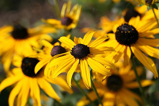 Mark Severn - rudbeckia