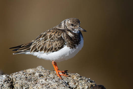Ruddy Turnstone by Don Baccus