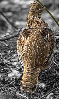 Ruffed Grouse 4 by Jahred Allen