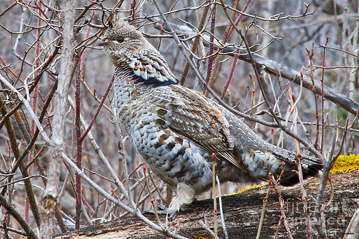 Ruffed Grouse male by Chris Heitstuman