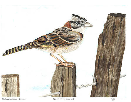 Rufous-collared sparrow by Cindy Hitchcock