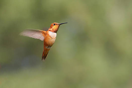 Rufous Hummingbird by Fuad Azmat