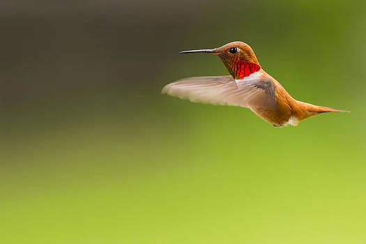 Rufous Hummingbird Male by Windy Corduroy
