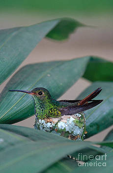Gregory G Dimijian MD - Rufous-tailed Hummingbird On Nest
