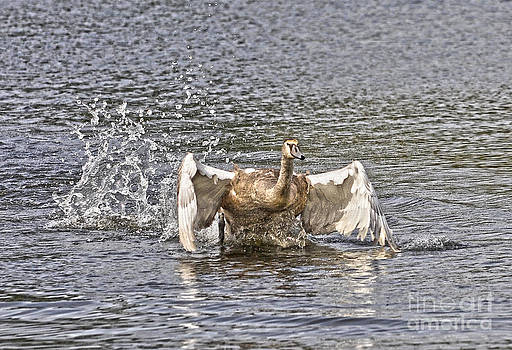 Running Mute Swan by Skye Ryan-Evans