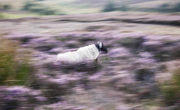 Running Sheep by Gillian Dernie
