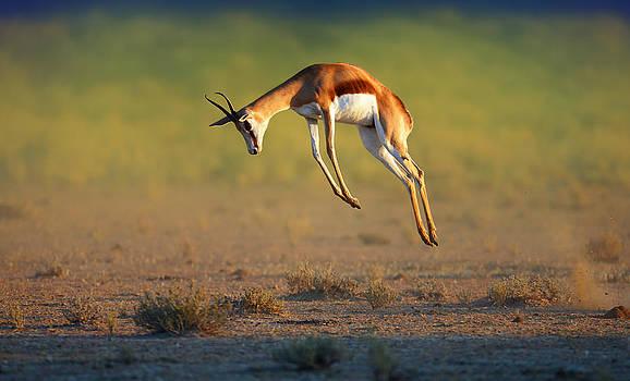 Running Springbok jumping high by Johan Swanepoel