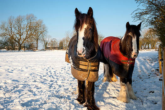 Horses in Rural Derbyshire at Christmas by Mark Richardson