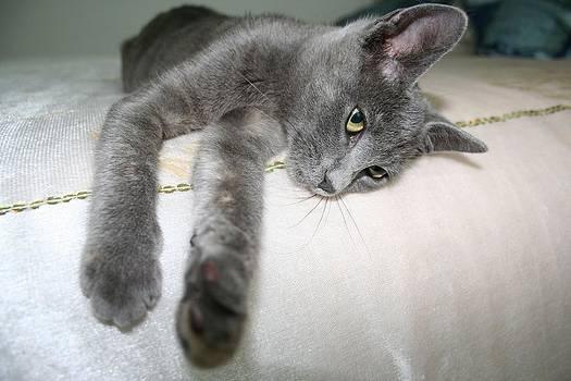 Tracey Harrington-Simpson - Russian Grey Cross Tabby Cat