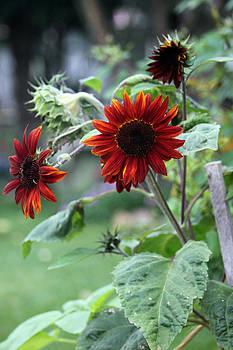 Sandra Foster - Rusty Orange Sun Flowers