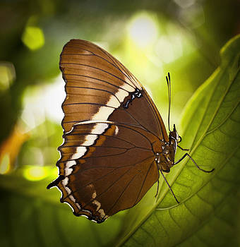 Rusty Tip Butterfly by Bradley R Youngberg