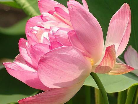 Sacred Lotus 3 by Nelin Reisman