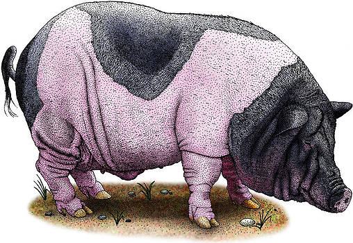 Saddleback Pig by Roger Hall