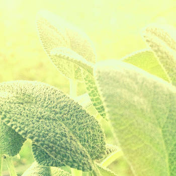Sage Herb Detail Sunshine Macro by Loud Waterfall Photography Chelsea Sullens