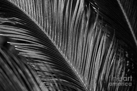 Connie Fox - Sago Palm Frond B W