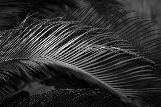 Connie Fox - Sago Palm Fronds B W
