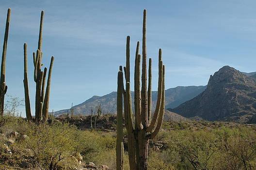 Saguaro Cacti by Sheri Heckenlaible