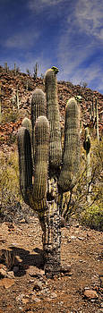 Heather Applegate - Saguaro of Many Arms