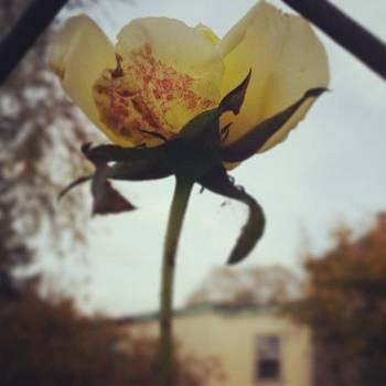 #salem #rosegarden by Sacred  Muse