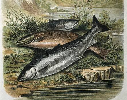 Salmons. Engraving After A Drawing by Everett
